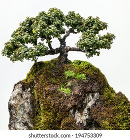 Beautifully elegant trained green bonsai or penjing tree on moss-covered rock against white background