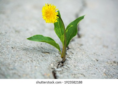 beautifully fresh bright flower growing out of a dark crack in asphalt