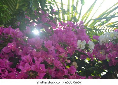 Beautifully grows the high tree and the Sun looks through top high tree Stock Image with pink flowers