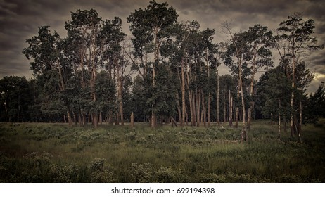 Beautifully processed birch trees with high contrast.