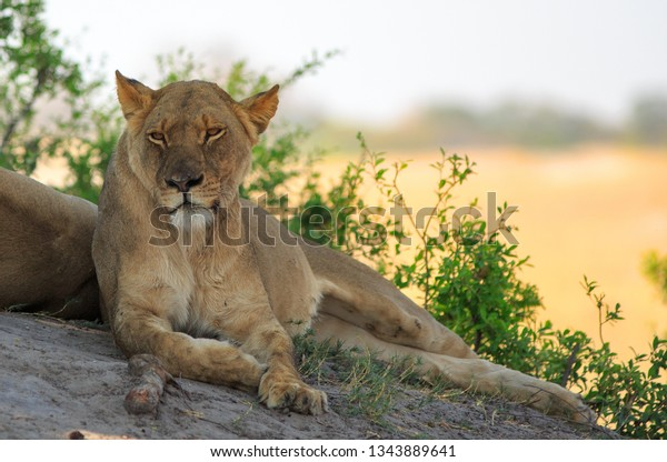 beautifully-relaxed-african-lioness-rest