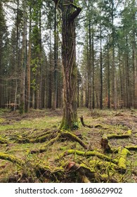 A beautifully shaped ancient tree in the Forest of Dean, with moss covering nearby ground and logs and nipping at its trunk. An army of thin, tall trees stand behind it.