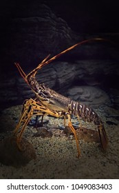 Beautifully shaped live spiny lobster in its natural underwater habitat. Selective focus. Space for copy text.