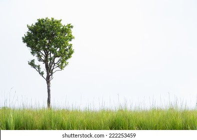 Beautifully shaped tree on a white background. With green grass as foreground