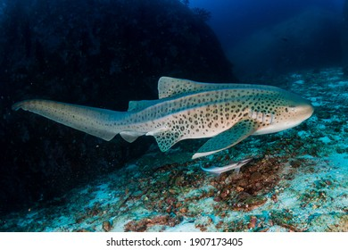 Beautifully spotted Zebra (Leopard) Shark on an underwater coral reef in Thailand's Similan Islands.