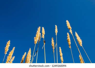 beautifully tall dandilion grass growing into the bright blue sky in autumn