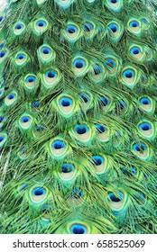 BeautifulPeacock Feathers