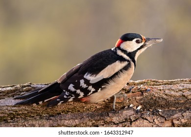Beautifuly lit detailed shot of great spotted woodpecker