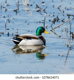 Beautilful male Mallard, Anas Platyrhynchos, swimming in a natural habitat