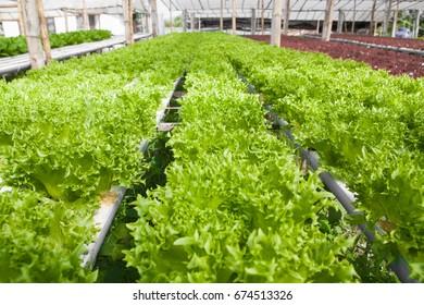 Beautufull vegetables hydro garden