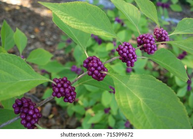 beauty berry plant pointing right