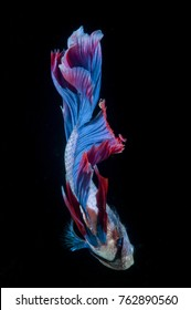 the beauty of betta fins are blue and red