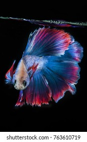 the beauty of betta halfmoon fish fins, with full color