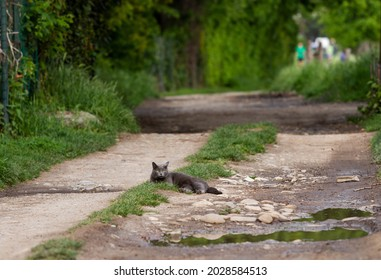 Beauty blue cat lying on a country road, farm animal