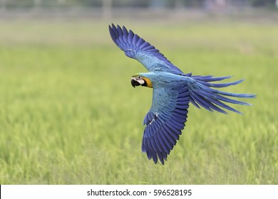 beauty blue and gold macaw flying freedom in rice field