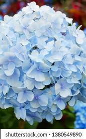 Beauty Blue hydrangea