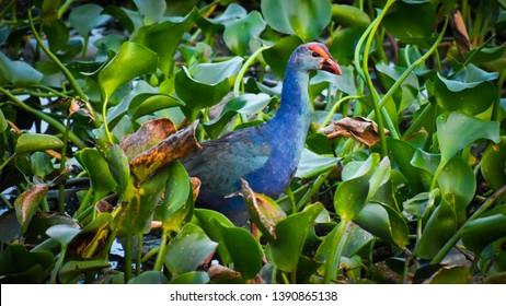 beauty blue pukeko found at coimbatore lake