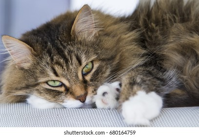 Beauty brown white tabby siberian cat lying on the chair looking the camera