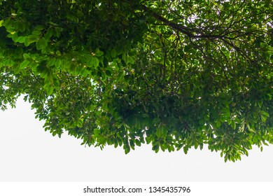 beauty bunch of green leaves spread natural fresh from their branches to cover beneath area from shining light sky to be shady, refreshing, silvan and relax in wide area in summer season