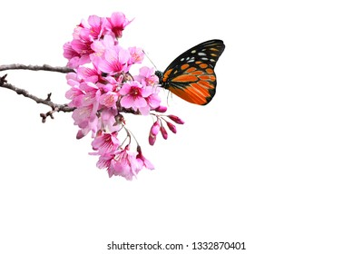 Beauty  butterfly with Cherry blossom , pink sakura flower  on white background