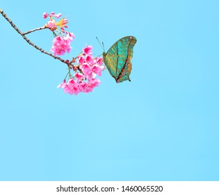 Beauty  butterfly with Cherry blossom , pink sakura flower
