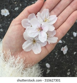 Beauty of the cherry blossoms in the hand