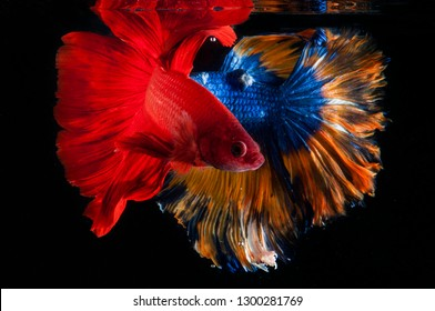 beauty color betta fish