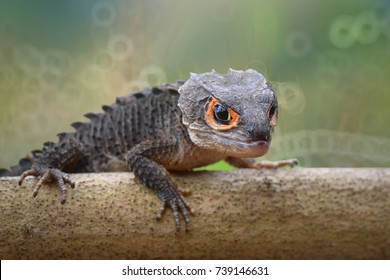 Beauty Crocodile Skink