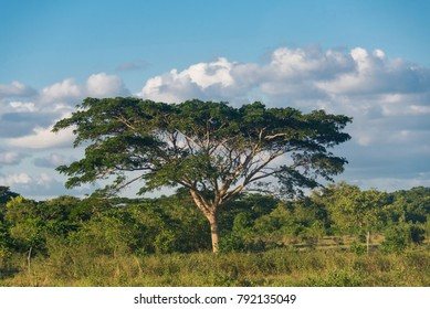 Beauty of Cuban countryside. Large tree with swooping branches, and a blue sky in the background.