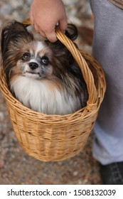 Beauty, cute and lovely little furry dog papillon sit in wicker hand small basket which hold girl hands. He has black long fur, big ears, white muzzle (snout, nose), orange (red) face and look at up.