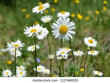 Beauty daisy flowers