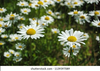 Beauty of a daisy flowers