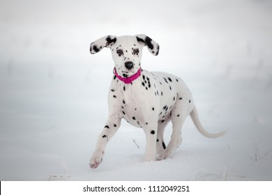Beauty dalmatian puppy