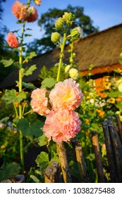 The beauty of decorative mallow flower in garden -Hollyhock Charter's Double, Alcea rosea, Hollyhock