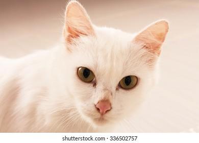 beauty eyes white cat