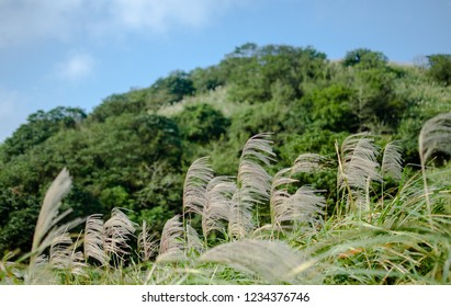 The beauty of fall. Miscanthus(Sliver grass) shot at Taipei Yangmingshan National Park, Taiwan.