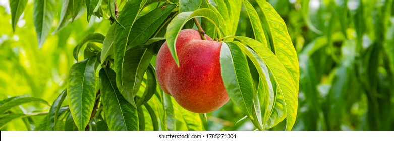 Beauty garden with red peaches. Colorful red peach fruits with green leaves on tree ready to be harvested, banner