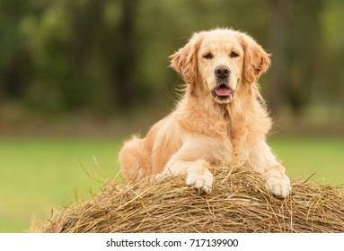 Beauty Golden Retriever dog relax on the hay bale