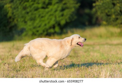 Beauty Golden retriever run at training in the nature