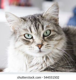 beauty grey cat of siberian breed in the house