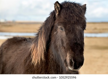 Beauty of Icelandic horses