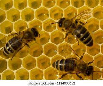 Beauty inside the hive. Bees transform nectar into honey.