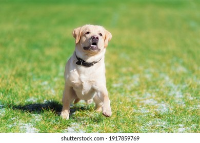 Beauty labrador retriever dog in the green park