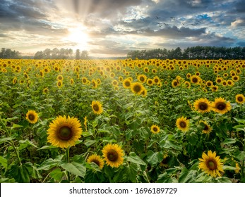 A beauty landscape of sunflowers in the liught of the setting sun under a sky with dark clouds.