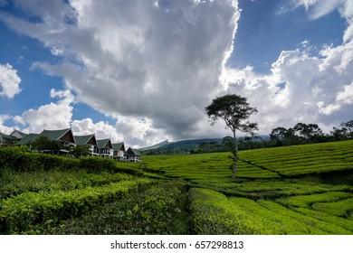 Beauty landscape tea garden in Pagar Alam, South Sumatera, Indonesia
