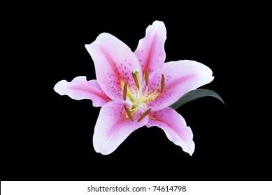 beauty lily