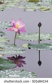 Beauty lotus lake