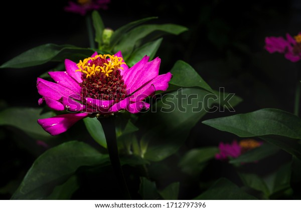 Beauty of magenta Dahlia flower close up with yellow pollen bud and dark background