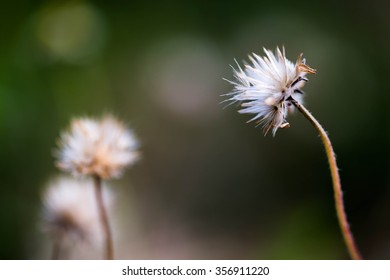 beauty mexican daisy grass in mornning