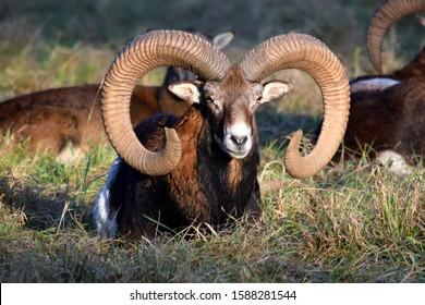 Beauty of Mouflon Male Lying in Grass Winter Portrait Ovis Aries Musimon